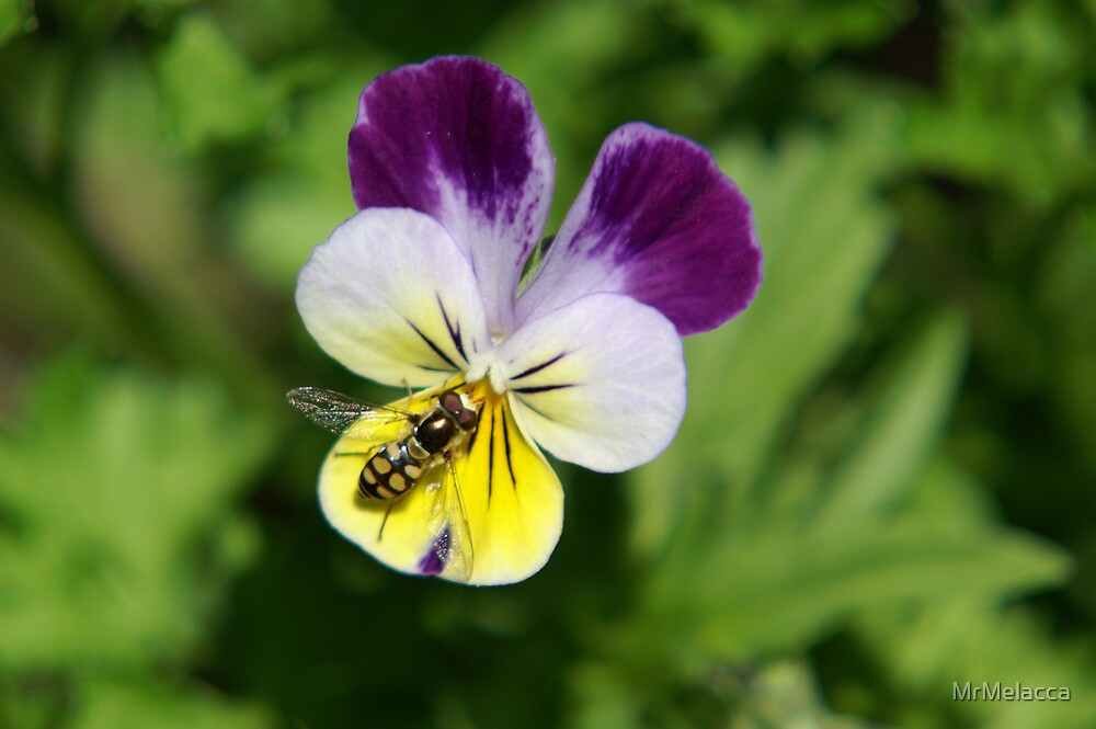 Native Bee by MrMelacca