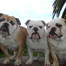 British Bulldogs by Littlebullydog