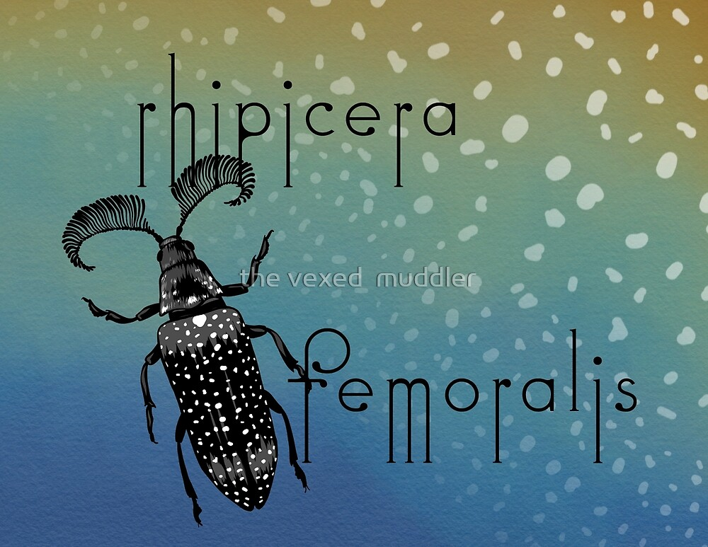 Rhipicera femoralis - feather horned beetle by the vexed  muddler