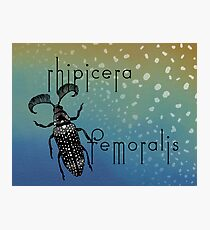 Rhipicera femoralis - feather horned beetle Photographic Print