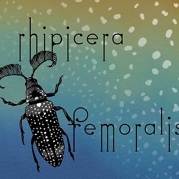 Rhipicera femoralis - feather horned beetle by thevexedmuddler