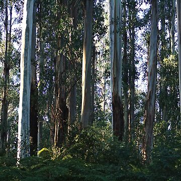 Eucalyptus Trees and Ferns  by bubbleblue