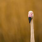 Nosey Flamingo by robsta5