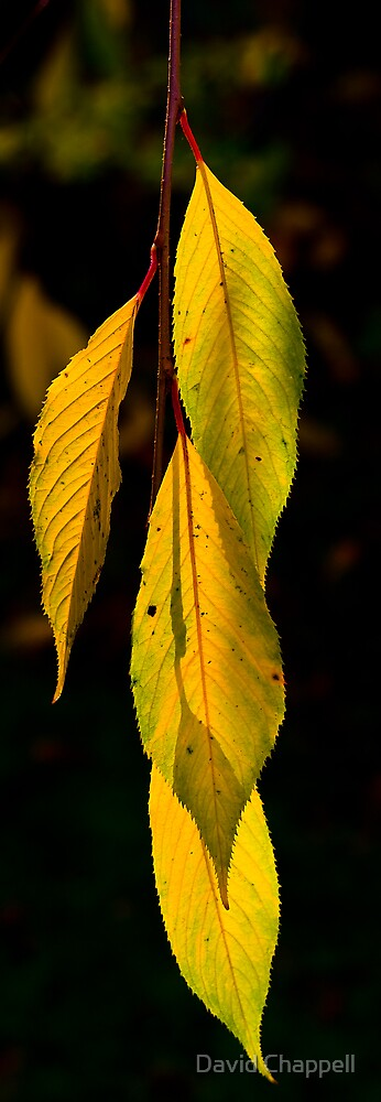 Backlit Leaves 1 by David Chappell