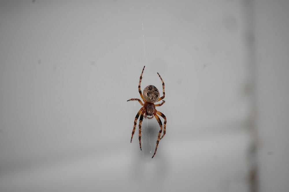 Mr. Spider basking in the shade? by zachdier