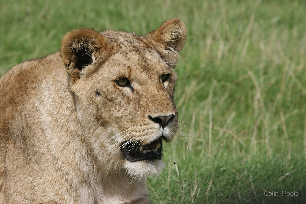 Lioness by Colin  Poole