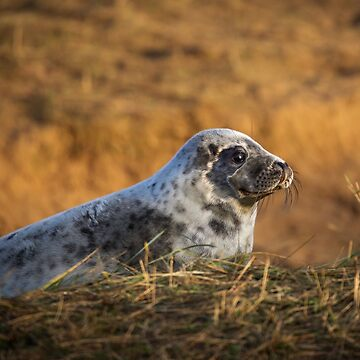 Seal pup at sunset by Kerto