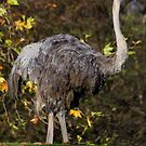 Ostrich by IanPharesPhoto
