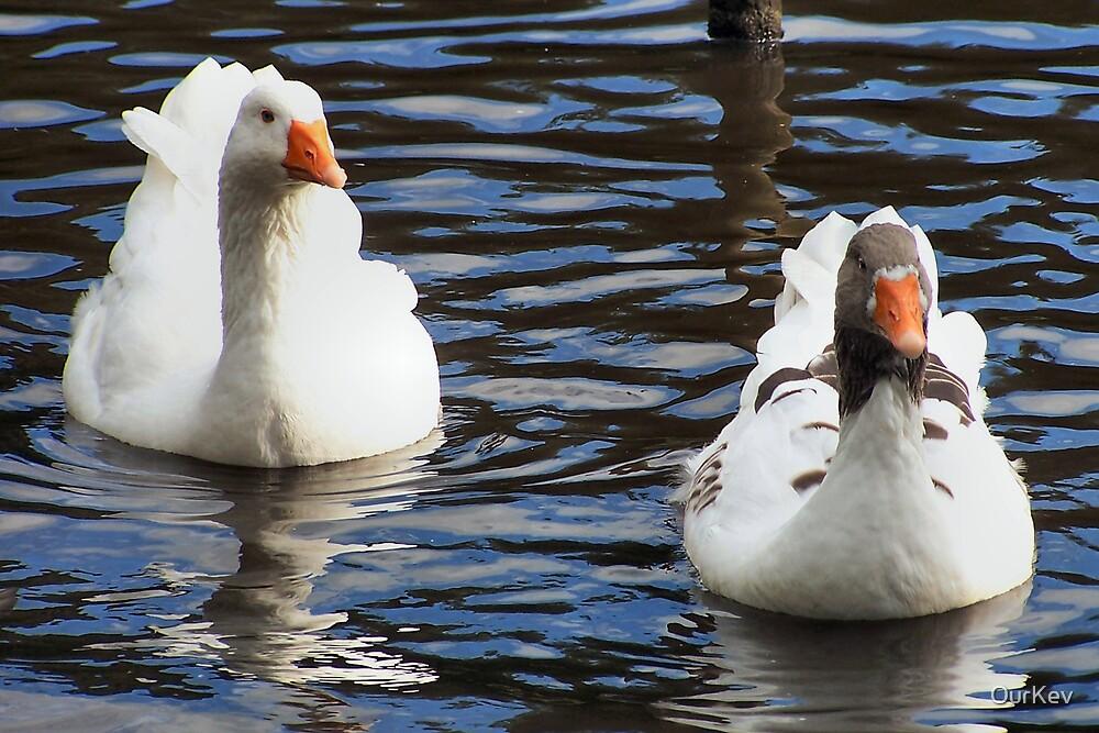 Aylesbury Ducks by OurKev