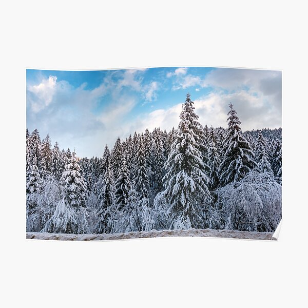snow covered spruce forest in winter  Poster