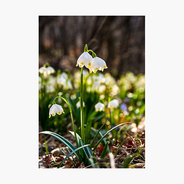 Beautiful blooming of White spring Snowflake Photographic Print