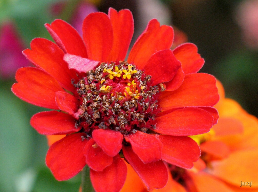 Pollen Dusted Zinnia by jacqi