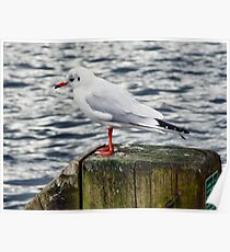 Introspective gull Poster