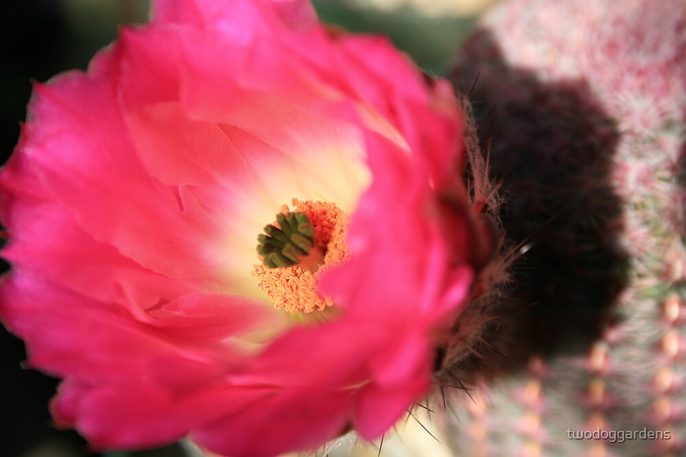 Cactus Rose by twodoggardens