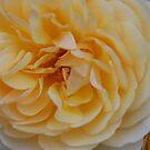 Rosa 'Graham Thomas' by Julie Sherlock