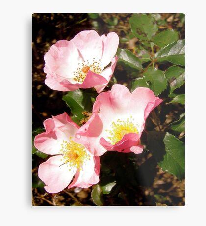 Governor General's roses 12 Metal Print