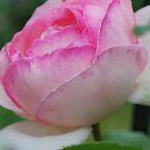 Rosa 'Pierre de Ronsard' by Julie Sherlock