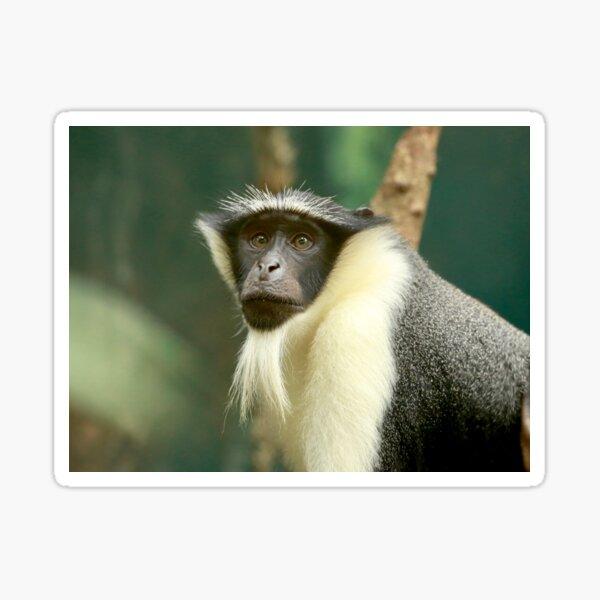 Roloway Monkey - Fergus Sticker