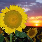 Sunflower Sunset (V2) by Jerry Walter