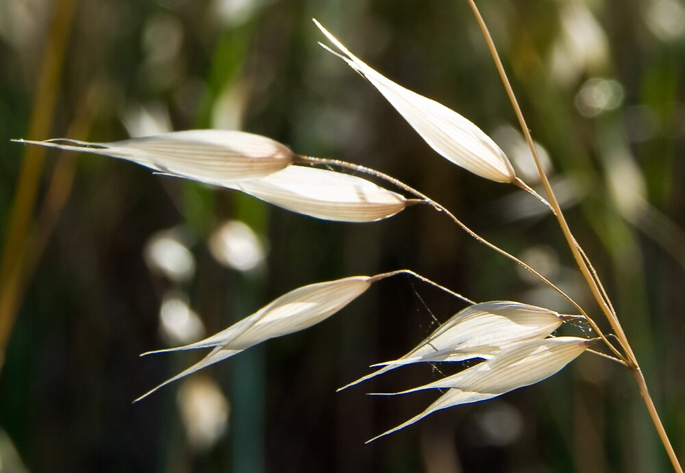 Grass seeds in the Sun by Craig Myers