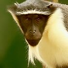 Critically Endangered Roloway Monkey by WAPCA