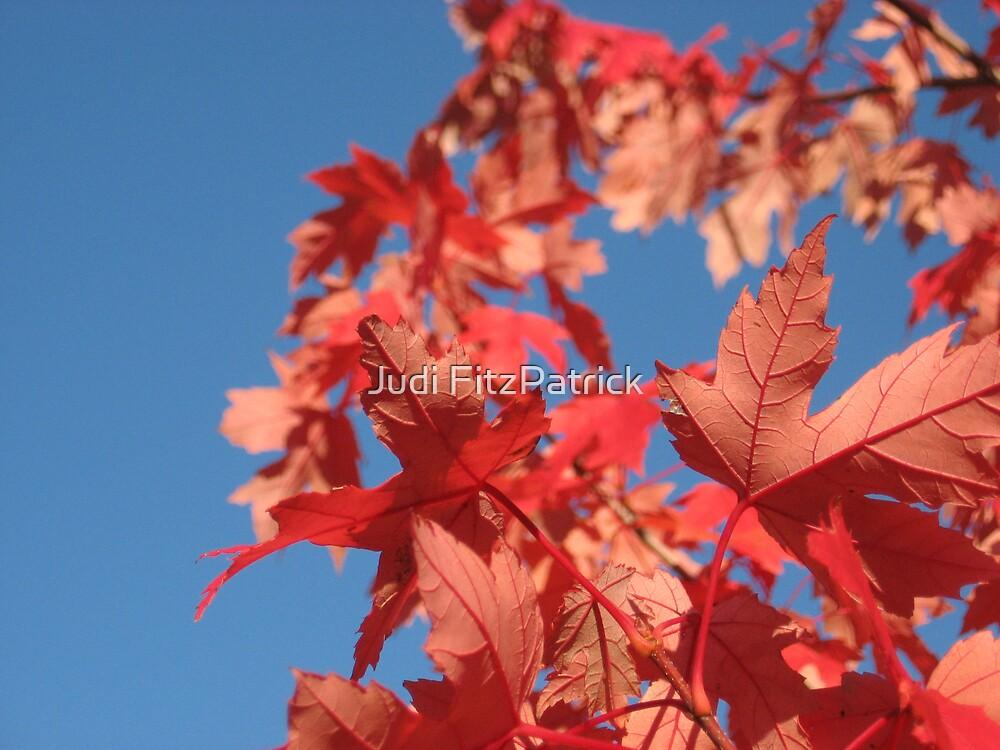 Maple Sky by Judi FitzPatrick