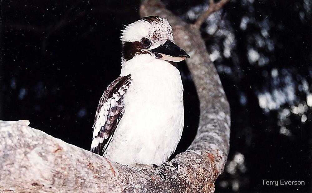 Kookaburra by Terry Everson