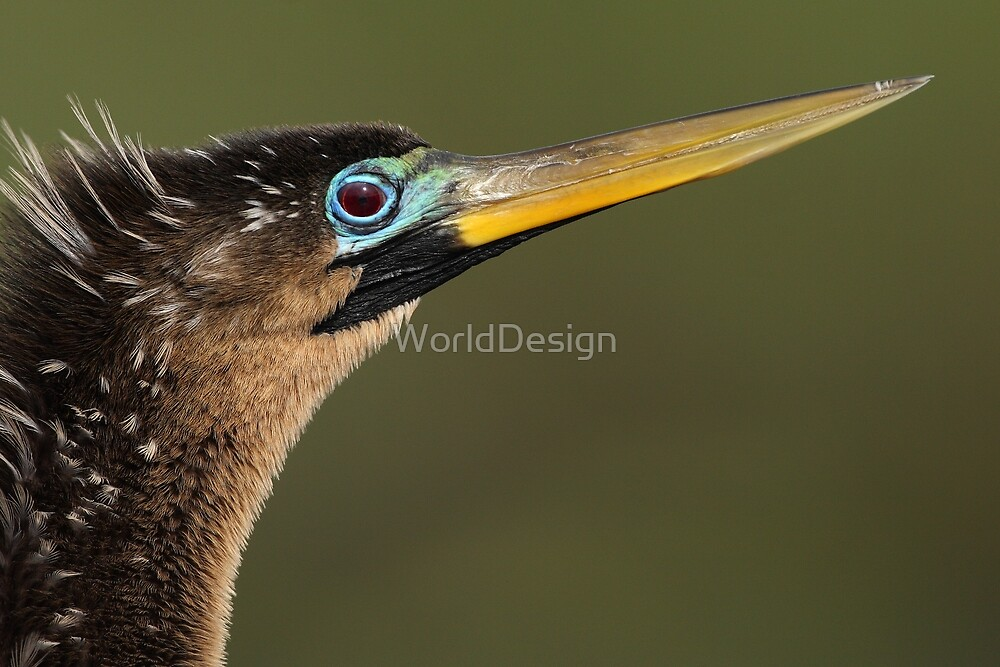 Anhinga Portrait by WorldDesign