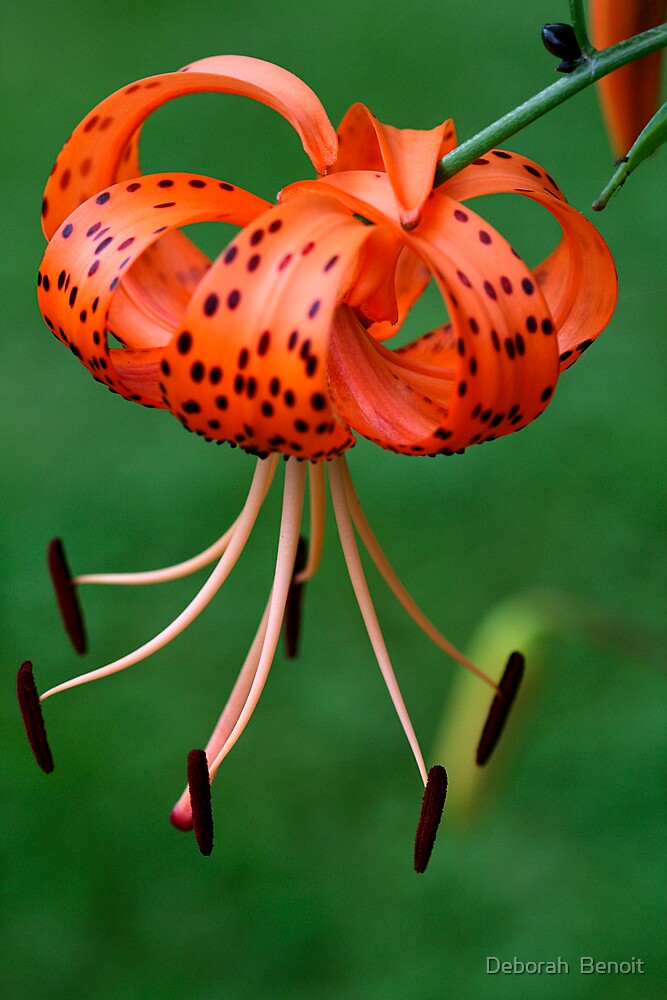 Spotted Lilly by Deborah  Benoit