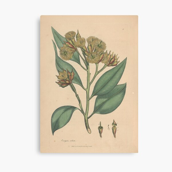 Botanical illustration: Eucalyptus robusta  – State Library Victoria Canvas Print