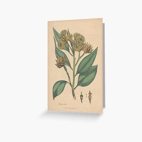 Botanical illustration: Eucalyptus robusta  – State Library Victoria Greeting Card