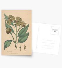 Botanical illustration: Eucalyptus robusta  – State Library Victoria Postcards