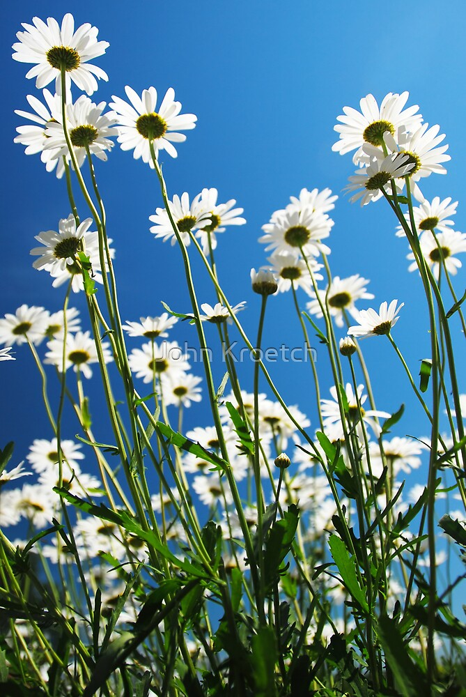 Reaching Daisies by John Kroetch