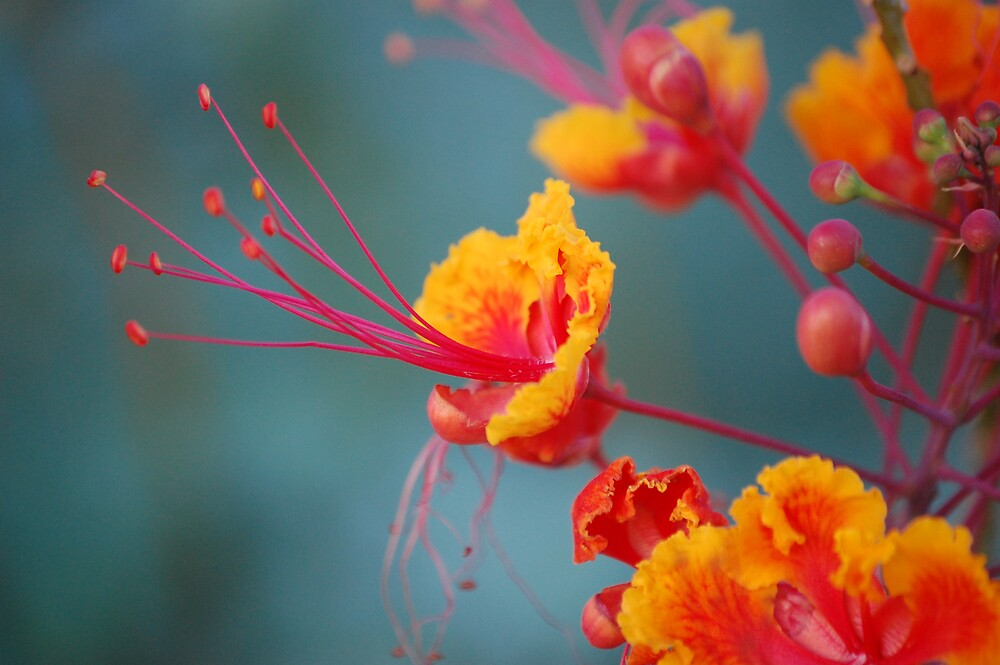 Mexican Bird of Paradise by Andrea Trotter