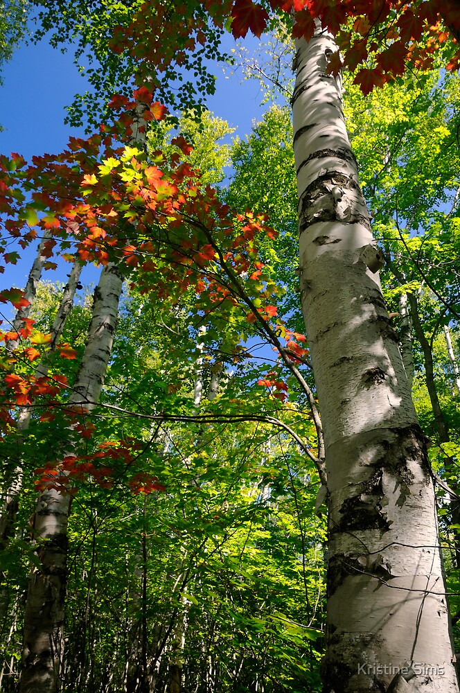 Among the Birch Trees by Kristine Sims