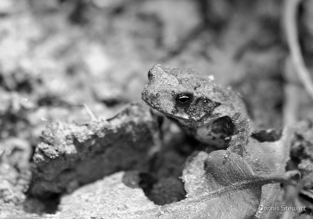 Ground Toad by Dennis Stewart