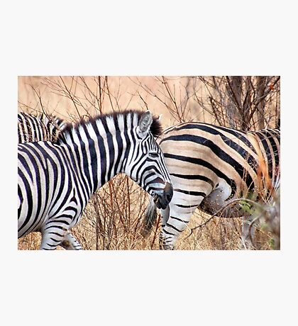 BURCHILLS ZEBRA Photographic Print