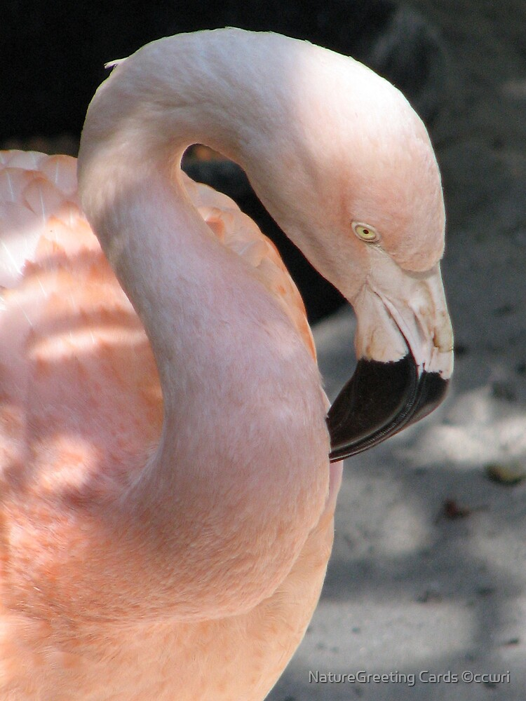 Shy Flamingo by NatureGreeting Cards ©ccwri