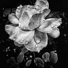 Rose petals with raindrops - BW version by Silvia Ganora
