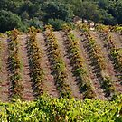 October in the Vineyard by rrushton