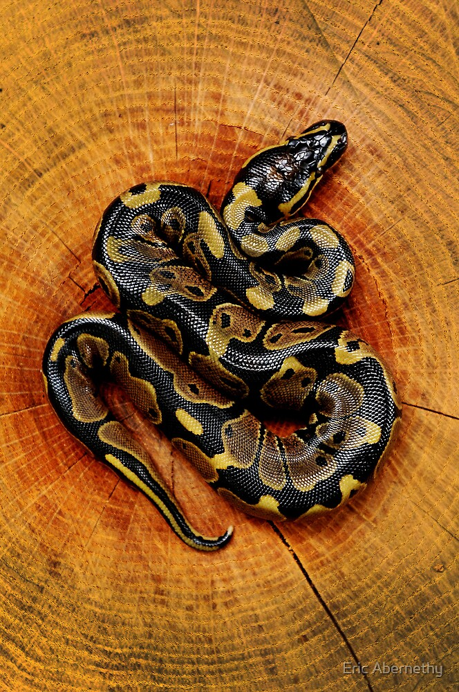 Baby Ball Python by Eric Abernethy