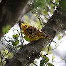Yellowhammer by Faith Barker Photography