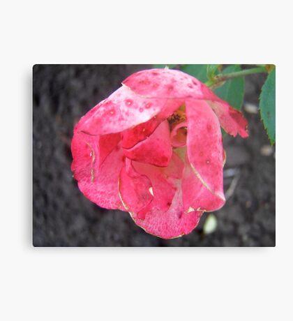 Governor General's rose 2 Metal Print