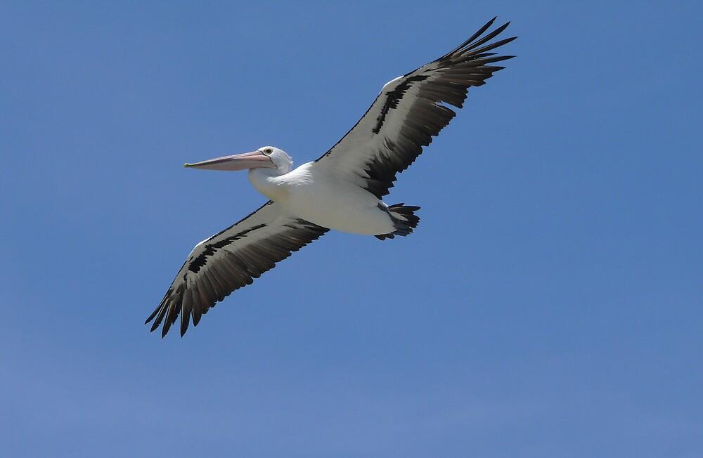 Flying Pelican by Tim Everding