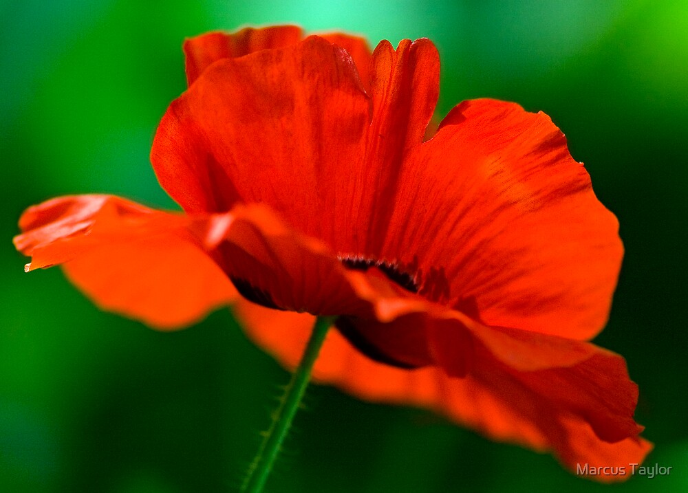 Red Poppy by Marcus Taylor