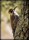 Arizona Woodpecker, Madera Canyon by Kimberly Chadwick