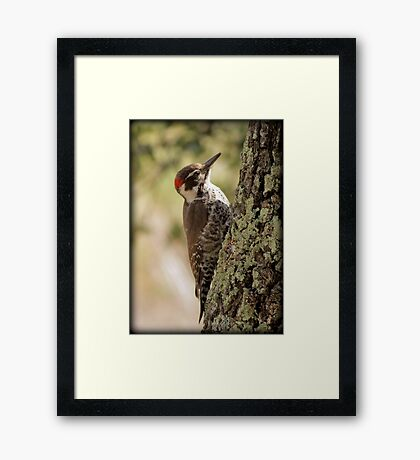Arizona Woodpecker, Madera Canyon Framed Print