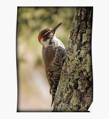 Arizona Woodpecker, Madera Canyon Poster