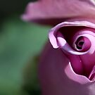rose bud  by bobjaret
