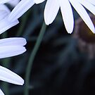 Daisy in White by Lesley  Hill